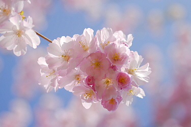 Japanese flowering cherry (Prunus serrulata) Mecklenburg-Vorpommern, Germany, April