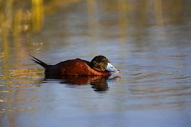 Ruddy duck (Oxyura jamaicensis) male drake on Lake Titicaca, Bolivia