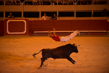 Man leaping over bull in European Bullfighting Championship 2012, Arenes d'Arles, Camargue, France, September 2012.