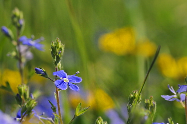 Germander speedwell (Veronica chamaedrys) flowering in a chalk grassland meadow, with defocused Horsehoe vetch flowers (Hippocrepis comosa) in the background, Wiltshire, UK, May.