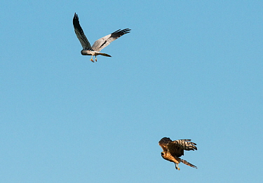 Pair of Montagu's harriers (Circus pygargus) undertaking a courtship food pass, Castro Verde, Alentejo, Portugal, April.