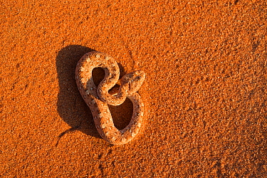 Peringuey's adder / Sidewinding adder (Bitis peringueyi), Namib Desert, Namibia, May