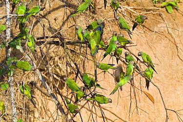 Dusky-headed Parakeet (Aratinga weddellii) flock near clay lick, Tambopata National Reserve, Peru, South America.