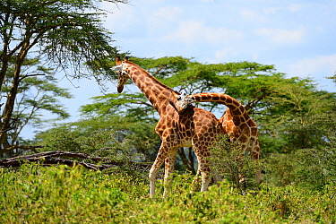 Rotschild's giraffe (Giraffa camelopardalis rothschild) two males play fighting, Nakuru National Park, Kenya, Africa.
