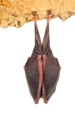 Lesser horseshoe bat (Rhinolophus hipposideros) adult sleeping, Grotta dell'Orso, Italy, January. Meetyourneighbours.net project
