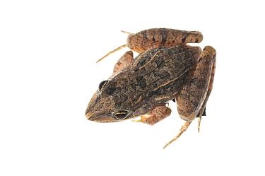 Peters' ground frog (Leptodactylus petersi) Yupukari, Guyana. Meetyourneighbours.net project