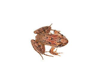 Peter's jungle frog (Leptodactylus petersi) Iwokrama, Guyana. Meetyourneighbours.net project