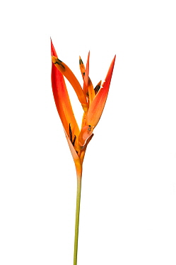 Parrot's beak heliconia (Heliconia psittacorum) Parabara, Guyana. Meetyourneighbours.net project