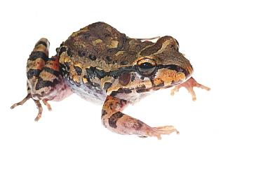 Myers' thin toed frog (Leptodactylus myersi) Kusad Mountain, Guyana. Meetyourneighbours.net project
