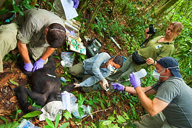 Angelique Todd with veterinarians during the anaesthesia of 'Blackback' Western Gorilla (Gorilla gorilla) 'Ngobo'. Gorilla anaesthetised by veterinary team in order to remove wire snare from wrist. Mo...