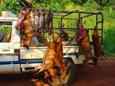 Vehicle carrying several different duiker carcasses for commercial bushmeat trade including: Blue Duiker (Cephalophus monticola), Bay Duiker (Cephalophus dorsalis), Peter's Duiker (Cephalophus callipy...
