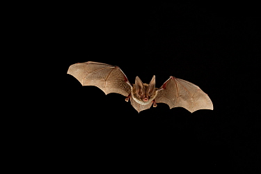 Rafinesque's big-eared bat (Corynorhinus rafinesquii) in flight at night, Big Thicket National Preserve, Texas, USA, March.