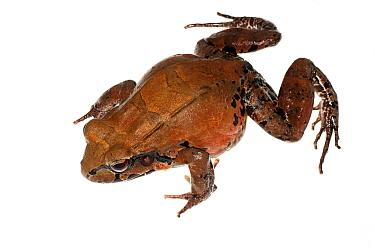 Knudsen's Thin-toed Frog (Leptodactylus knudseni) adult, Chenapau, Guyana. Meetyourneighbours.net project.