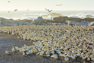 Cape gannet (Morus capensis) colony, Bird Island, Lambert's Bay, Western Cape province, South Africa, September 2012.
