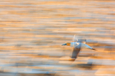 Cape gannet (Morus capensis) in flight over the sea, blurred motion, Bird Island, Lambert's Bay, Western Cape province, South Africa, September 2012.