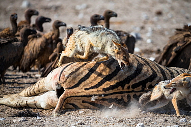 Black-backed jackals (Canis mesomelas) squabbling amongst White-backed vultures (Gyps africanus) at the carcass of a female of Burchell's Zebra (Equus burchelli) that died due to complications whilst...