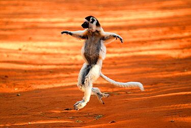 Verreaux's sifaka (Propithecus verreauxi) 'dancing'. Berenty Private Reserve, Madagascar. Endangered species.