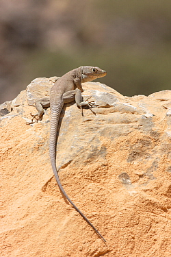 Jayakar's Oman lizard (Omanosaura jayakari) Oman, April