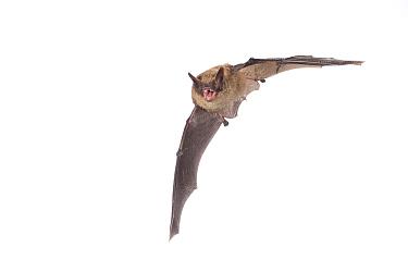 Brandt's bat (Myotis brandtii) adult in flight, Belgium, September. meetyourneighbours.net project