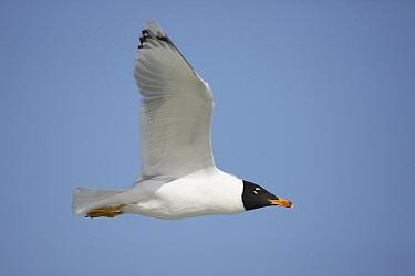 Pallas's gull (Ichthyaetus ichthyaetus) adult in flight, Oman, February.