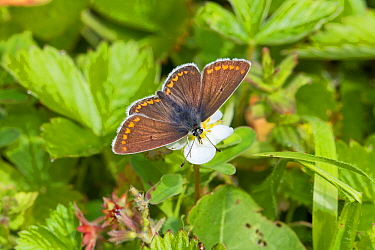 Female Brown argus butterfly  (Plebeius agestis) feeding on wild strawberry Hutchinson's Bank, New Addington, South London,  England, UK, May