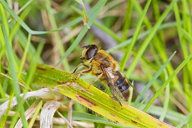 Hoverfly (Eristalis pertinax) Hutchinson's Bank, New Addington, South London,  England, UK, April