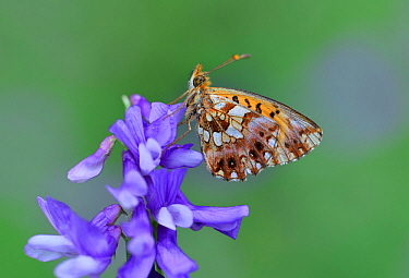 Weaver's fritillary butterfly (Boloria dia) on flower, Mercantour National Park, Provence, France, July.
