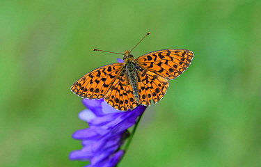 Weaver's Fritillary Butterfly (Boloria dia) Mercantour National Park, Provence, France, July.