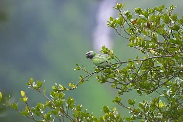 Derby's parakeet (Psittacula derbiana) on branch, Kawakarpo Mountain, Meri Snow Mountain National Park, Yunnan Province, China.