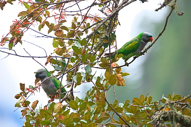 Derby's parakeet (Psittacula derbiana) perched in tree, Kawakarpo Mountain, Meri Snow Mountain National Park, Yunnan Province, China.