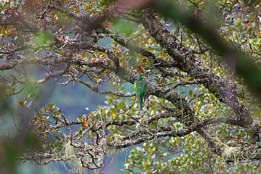 Derby's parakeet (Psittacula derbiana) perched, Kawakarpo Mountain, Meri Snow Mountain National Park, Yunnan Province, China.