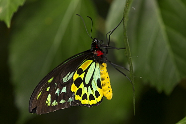 Cairn's birdwing butterfly (Ornithoptera priamus) captive, occurs in Asia