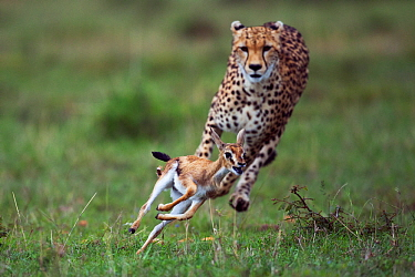 Cheetah (Acinonyx jubatus) cub aged around  one year about to bring down a Thomson's gazelle fawn (Eudorcas thomsonii /Gazella thomsonii). Maasai Mara National Reserve, Kenya.