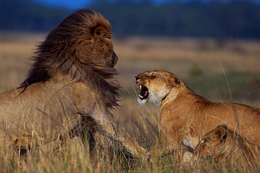 Lioness (Panthera leo) rejecting a male's advances Maasai Mara National Reserve, Kenya.