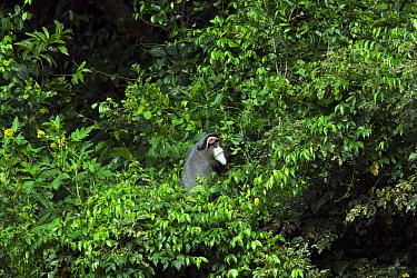De Brazza's Monkey (Cercopithecus neglectus) peering out through vegetation. Kisere Forest, Kakamega Forest National Reserve, Western Province, Kenya.