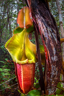 Large aerial pitcher of Veitch's pitcher plant (Nepenthes veitchii) growing up a tree trunk. Maliau Basin, Sabah, Borneo.