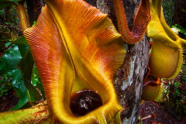 Large aerial pitchers of Veitch's pitcher plant (Nepenthes veitchii) growing up a tree trunk, showing captured fly. Maliau Basin, Sabah, Borneo.