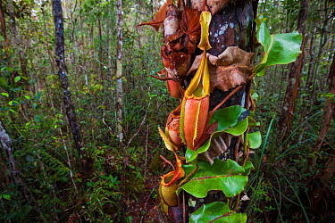 Large aerial pitchers of Veitch's pitcher plant (Nepenthes veitchii) growing up a tree trunk. Maliau Basin, Borneo.