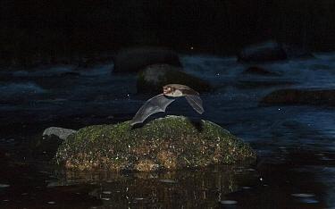 Daubenton's bat (Myotis daubentonii) flying over a small river, Muurame, Keski-Suomi, Lansi- ja Sisa-Suomi / Central and Western Finland, Finland. June
