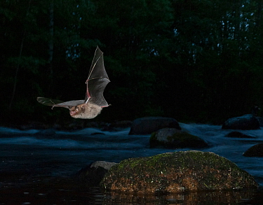 Daubenton's bat (Myotis daubentonii) flying over small river, Muurame, Keski-Suomi, Lansi- ja Sisa-Suomi / Central and Western Finland, Finland. June