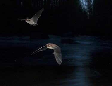 Daubenton's bat (Myotis daubentonii) two in flight over a small river, Muurame, Keski-Suomi, Lansi- ja Sisa-Suomi / Central and Western Finland, Finland. June