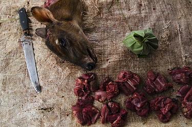 Butchered Peter's duiker (Cephalophus callipygus) killed for bushmeat. Mbomo market, Republic of Congo (Congo-Brazzaville), Africa, June 2013.