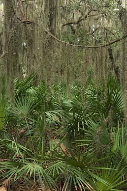 Saw palmetto (Serenoa repens) Coastal forest, Little St Simon's Island, Barrier Islands, Georgia, USA, March.