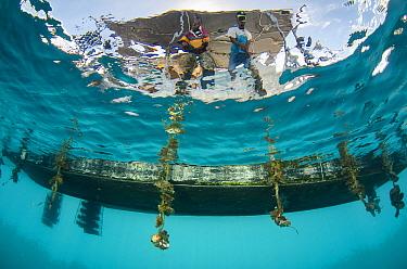 Pearl farming lines underwater, J Hunter Pearl Farm, Savusavu island, Fiji, South Pacific, April 2014. Fiji is known for producing 'black' pearls.