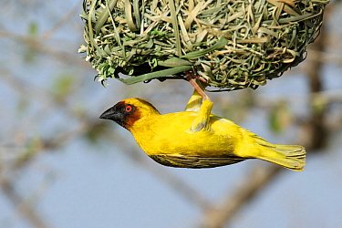 Ruppell's weaver (Ploceus galbula) male at nest entrance, Oman, May