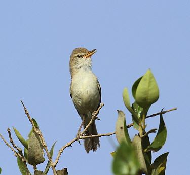 Sykes's warbler (Iduna rama) perched, singing, Oman, April