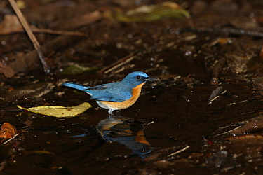 Tickell's blue flycatcher (Cyornis tickelliae) male standing in water, India, January