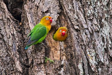 Fischer's lovebird (Agapornis fischeri) pair at nest hole, Ndutu, Tanzania.