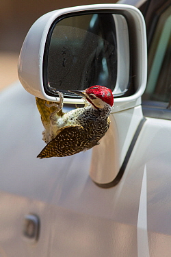 Bennett's woodpecker (Campethera bennettii) attacking its reflection in car wing mirror, Kruger National Park, South Africa.
