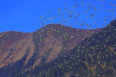 Derby's parakeet (Psittacula derbiana) flock in flight, Kawakarpo Mountain, Meri Snow Mountain National Park, Yunnan Province, China, October 2009.